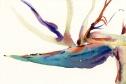 birdofparadise_170212a